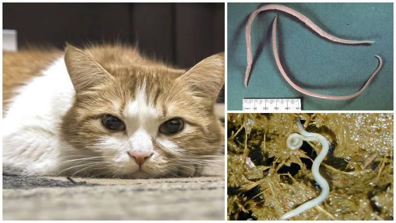 Легочные глисты у кошек: признаки, как лечить