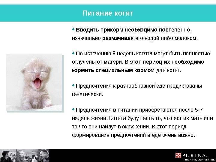 Чем кормить котенка шотландца: меню по возрастам