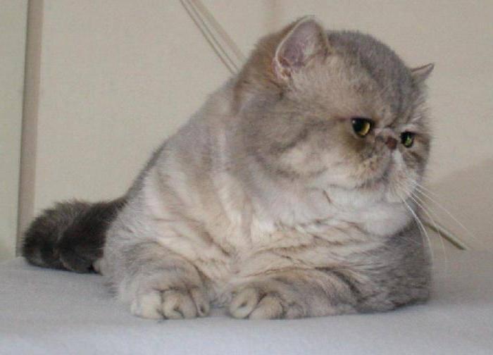 ᐉ кошка с приплюснутой мордой порода название - zoo-mamontenok.ru