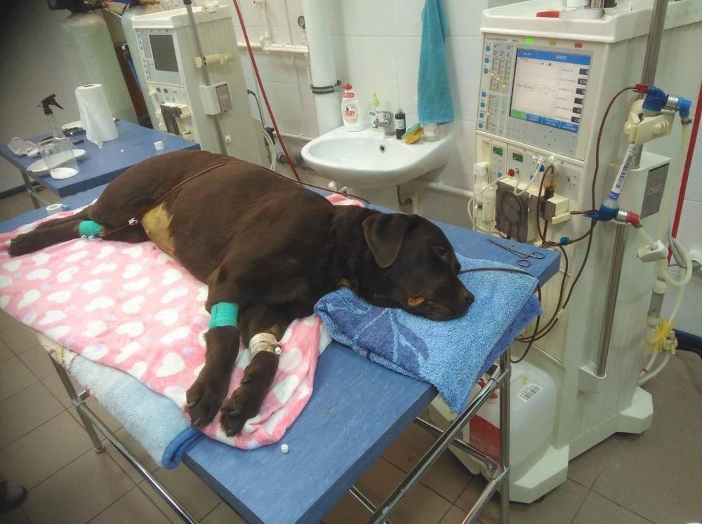 Переливание крови кошкам.