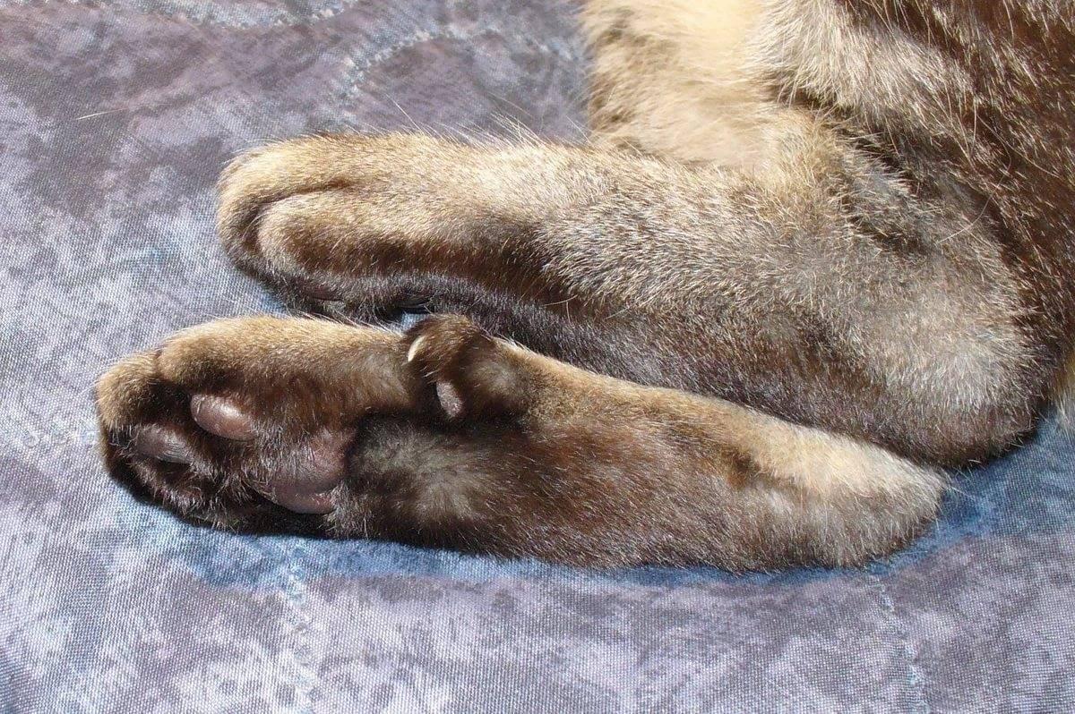 Шестипалые кошки: что значит полидакт? происхождение и характеристика породы котов хемингуэя