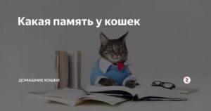 Какая память у кошек: сколько длится дней