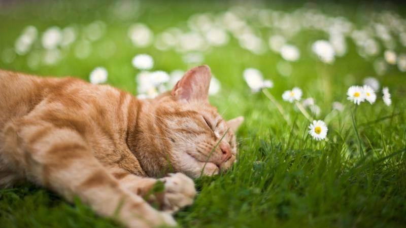 Трава для кошек: виды и выращивание