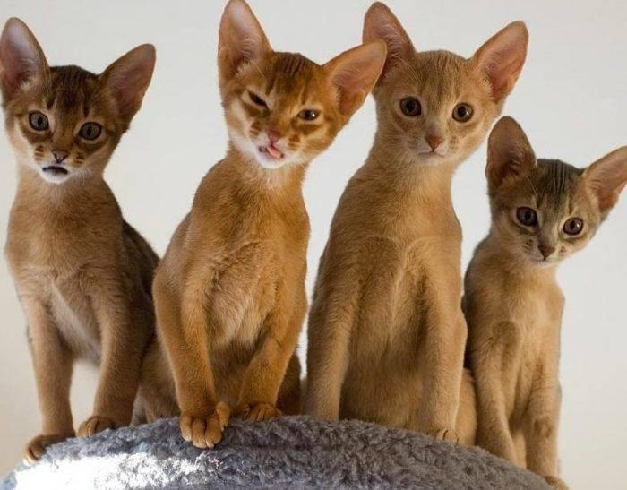 , описание породы с фото: как выглядит и ведет себя эта кошка, сколько стоит котенок и где его купить?