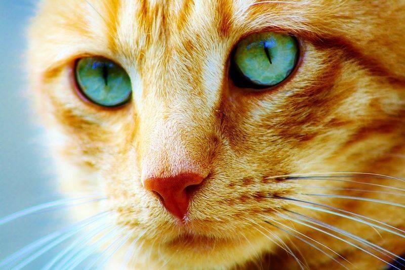 Почему нельзя смотреть кошке в глаза: красивая легенда и научное объяснение