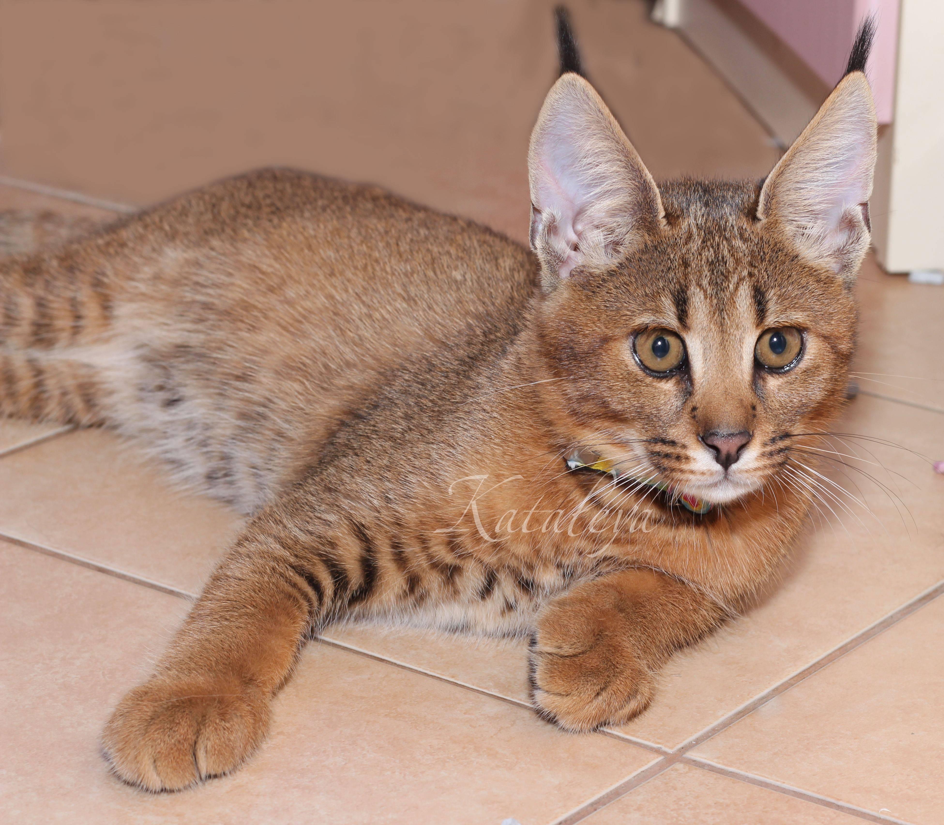 Сомалийская кошка: фото, описание, окрас, характер, стандарт породы