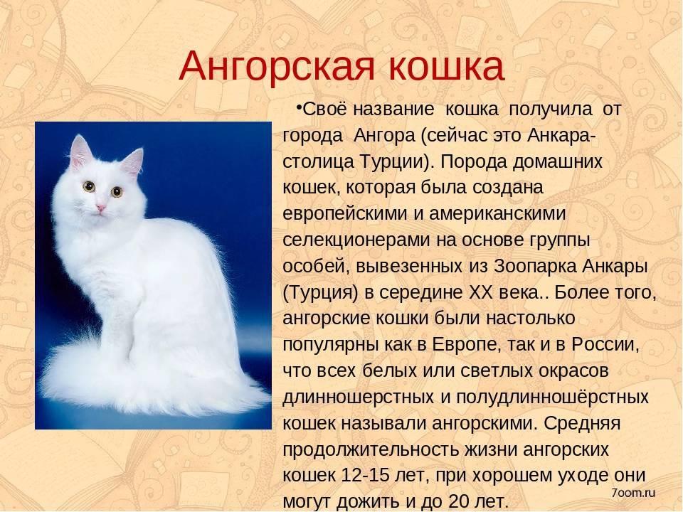 Ангорская кошка: описание, характер, фото, отзывы