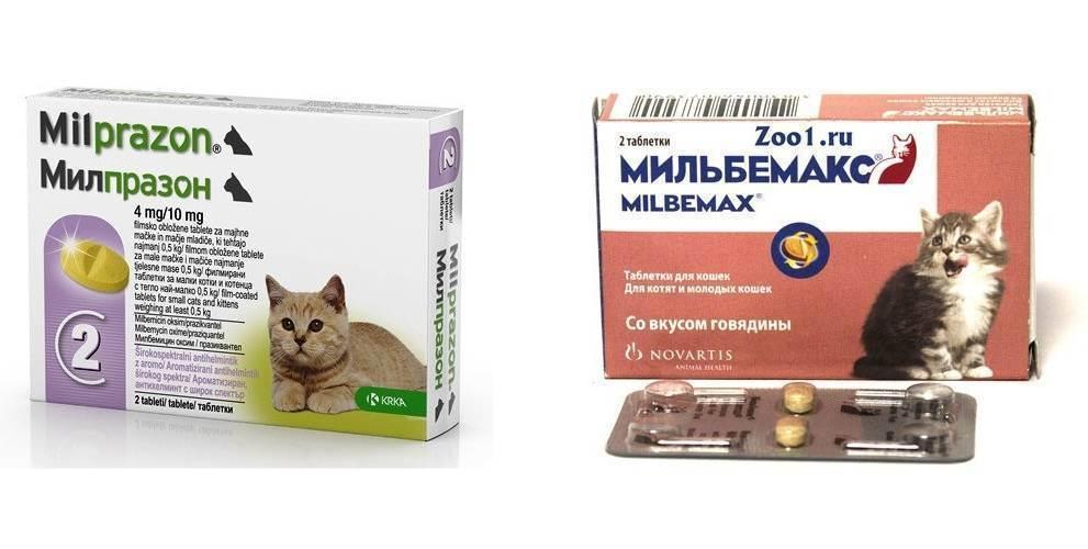 Глисты у котят - что делать хозяину? симптомы и лечение глистов у котенка | нвп «астрафарм»