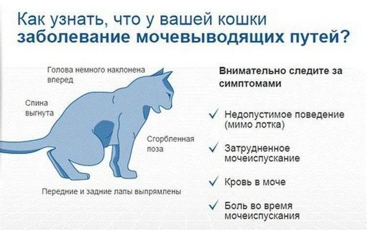 Цистит у кошек: основные симптомы и лечение в домашних условиях