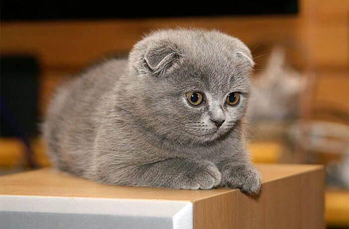 Имя для шотландской кошки: красивые, прикольные и необычные женские клички для котят-девочек шотландской породы