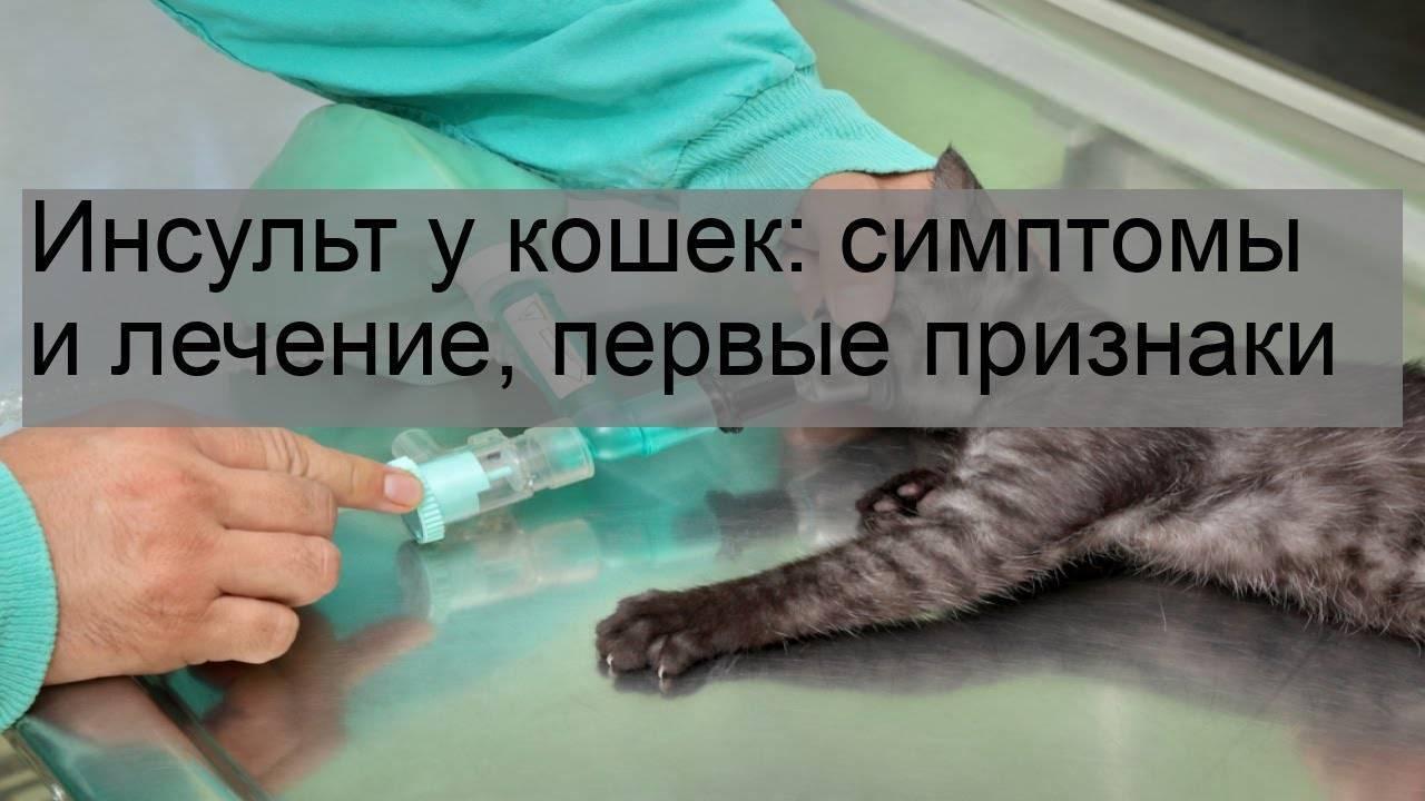 Инсульт у кошек: симптомы, лечение, виды, профилактика