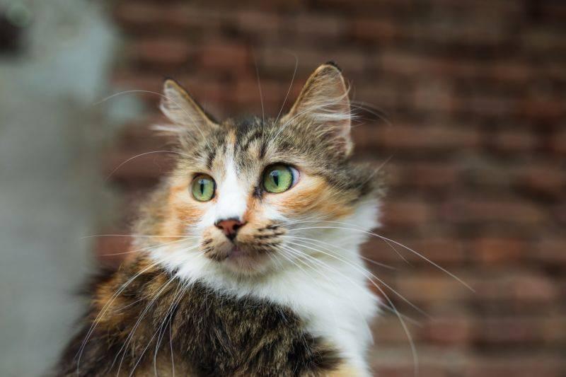 Методы племенного разведения кошек.