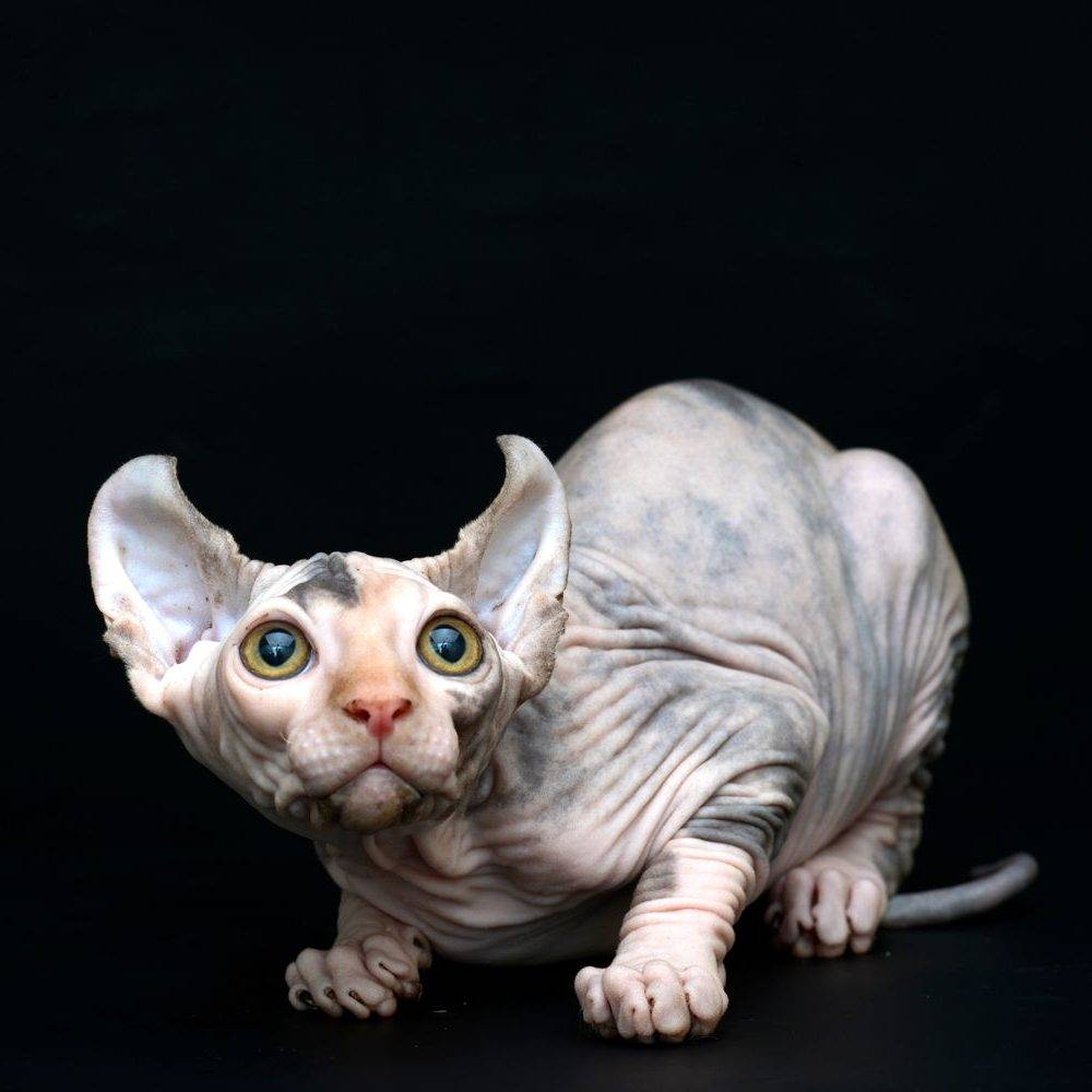 Эльф – фото кошки, описание особенностей и характеристика породы эльф
