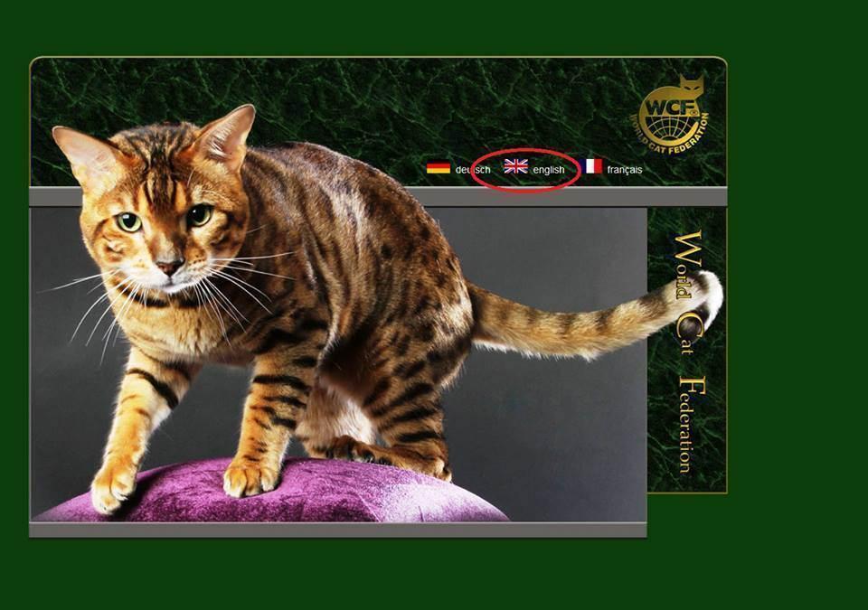 Выставочные титулы кошек. порядок присуждения титулов. как дают титул кошкам