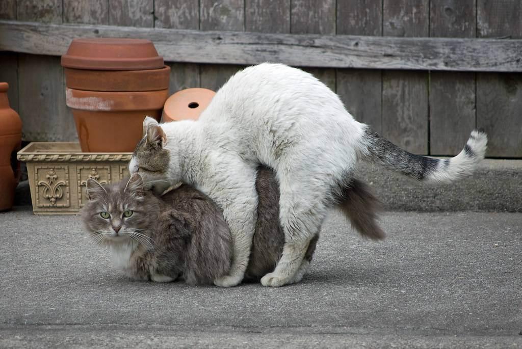 Через сколько можно вязать кошку после родов