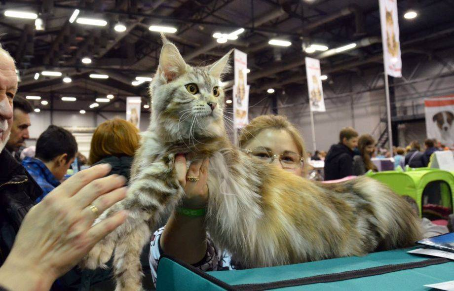 Выставки домашних беспородных кошек - выставка кошек - всё о кошках и котах