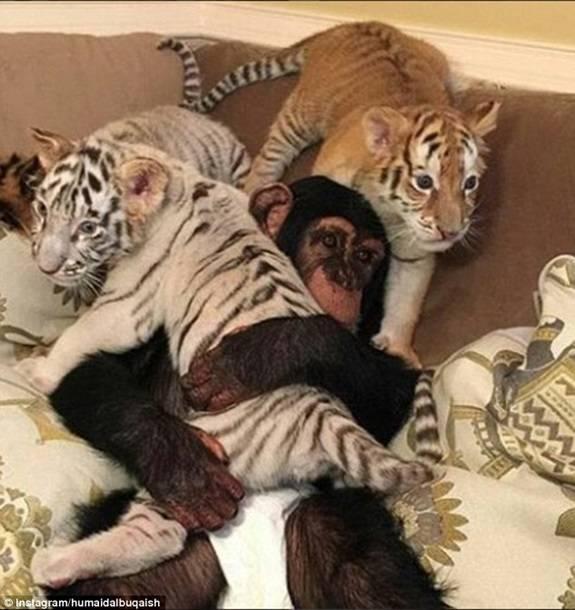 Дикие кошки в качестве домашних питомцев