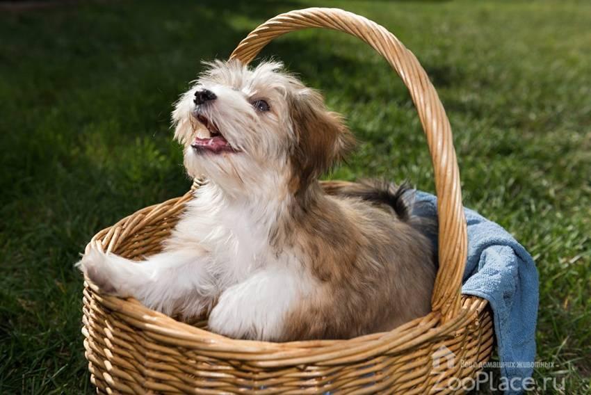 Гаванский бишон собака. описание, особенности, уход и цена гаванского бишона
