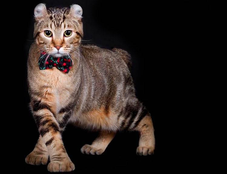 Хайлендер (хайленд линкс): описание породы кошек с фото и видео