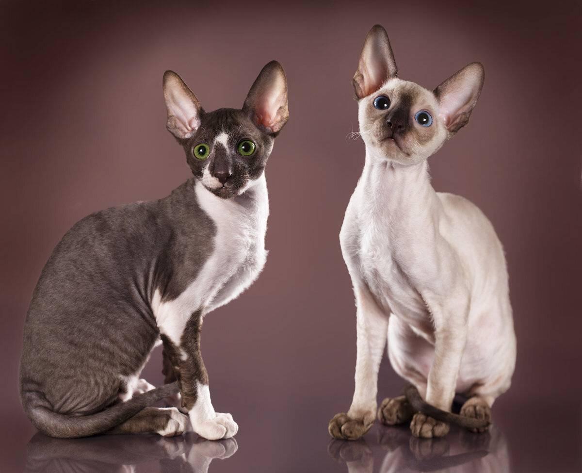 Особые породы кошек для тех, у кого аллергия