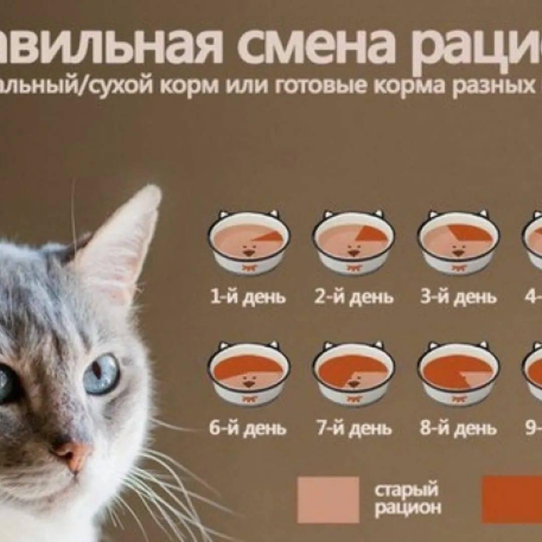 """Как перевести котенка на сухой корм с """"натуралки"""": правила перевода кошки на готовое питание"""