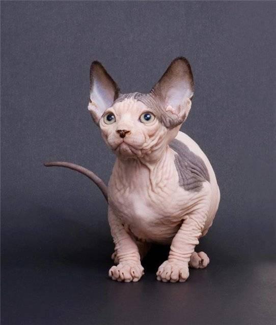 Бамбино (кошка): фото, цена котенка, описание породы, характер и уход