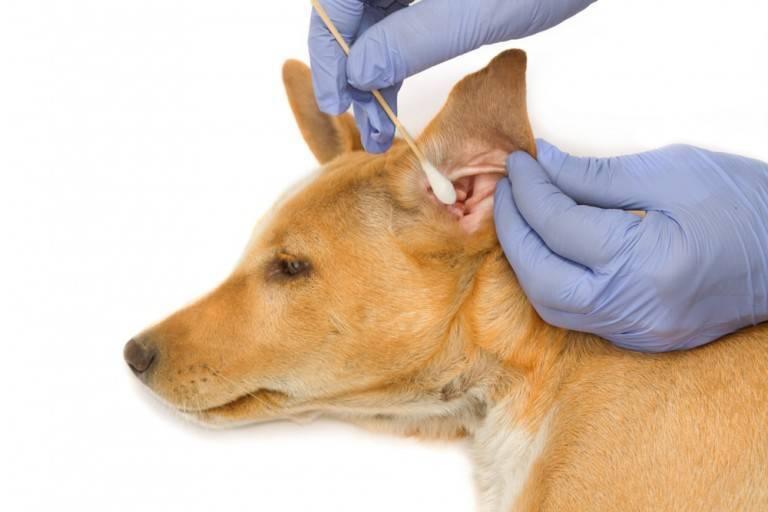 У кота болят и чешутся уши чем лечить