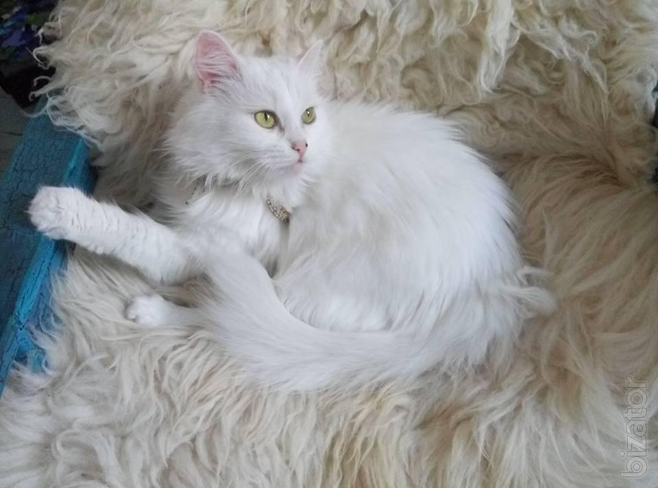 Ангорская кошка - характер и повадки, выращивание котят, содержание, кормление и уход в домашних условиях
