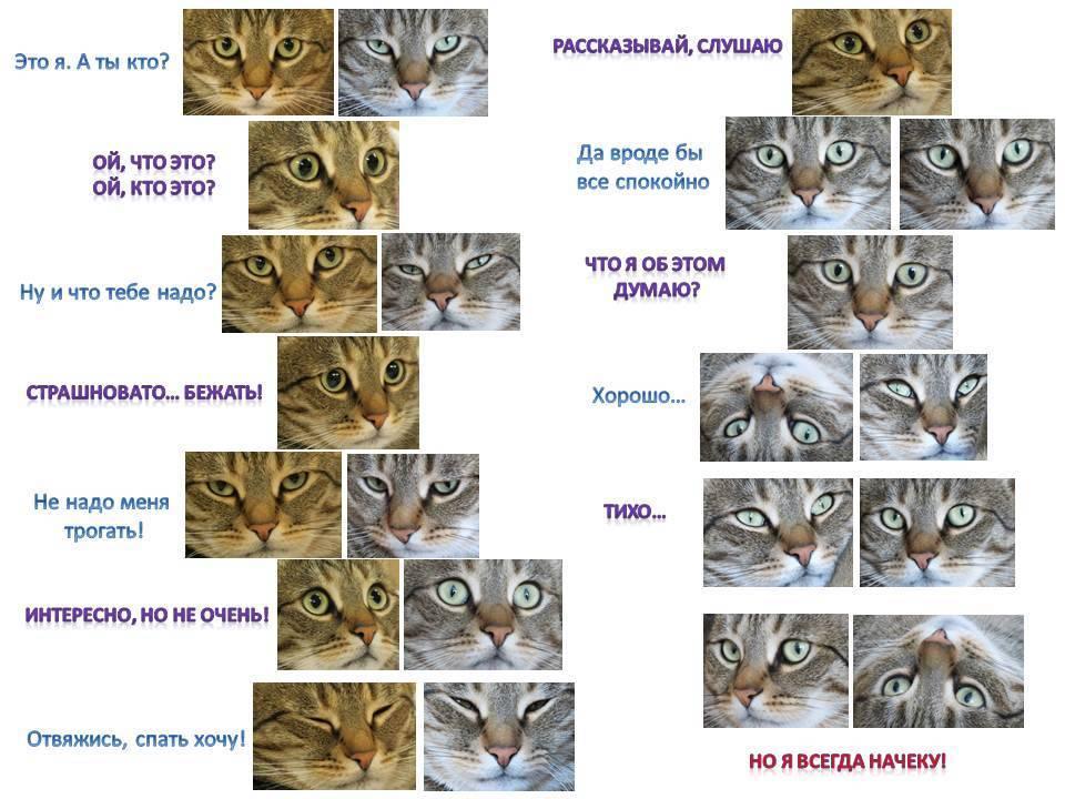 Как определить породу кошки: что можно узнать по окрасу и размеру питомца