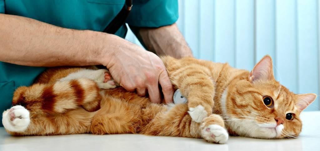 Гастрит у кошек и котов - симптомы, лечение, препараты, причины появления | наши лучшие друзья