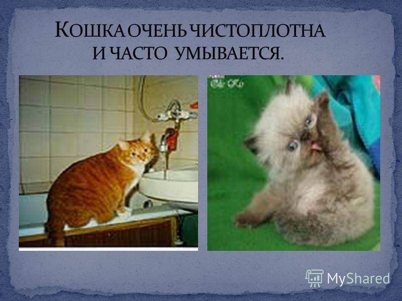 Пушистые чистюли: 6 причин, почему кошки так часто умываются