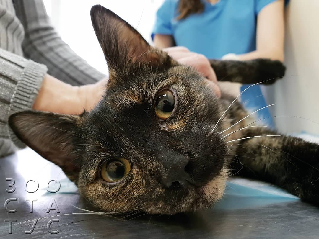Что может вызывать хромоту у кошек. шотландская кошка хромает: причины и лечение. почему кот хромает на заднюю лапу после кастрации, укола без видимых повреждений чем помочь