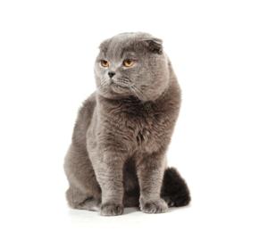 Как прижать уши шотландской вислоухой кошки. о шотландской вислоухой кошке