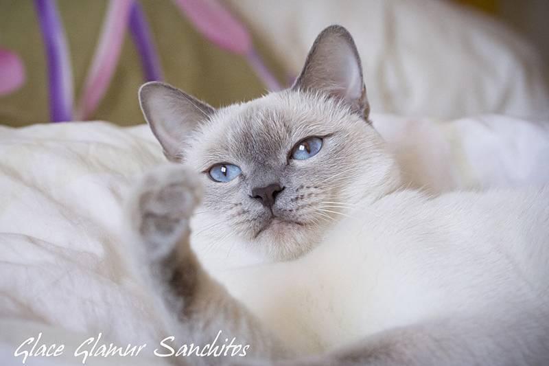 Колор поинт: история возникновения окраса, породы кошек, уход