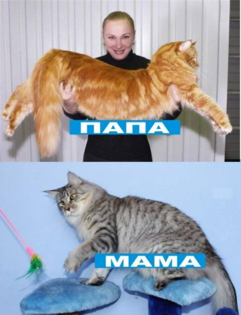 И выросла кошка большая-пребольшая: как растут коты