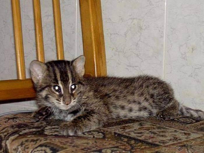 Камышовая кошка (кот) - описание породы