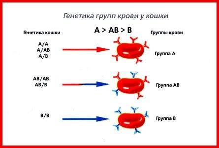 Группа крови у кошек. что она означает и зачем ее нужно знать.