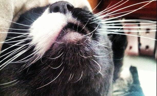 Что такое вибриссы и зачем они кошке?