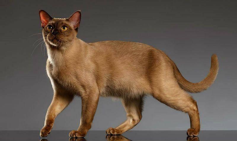 Бурманская кошка: описание породы и характера с фото, рекомендации по уходу