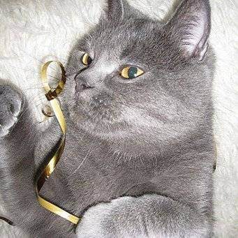Сильно лезет шерсть у кота британца. почему британская кошка сильно линяет