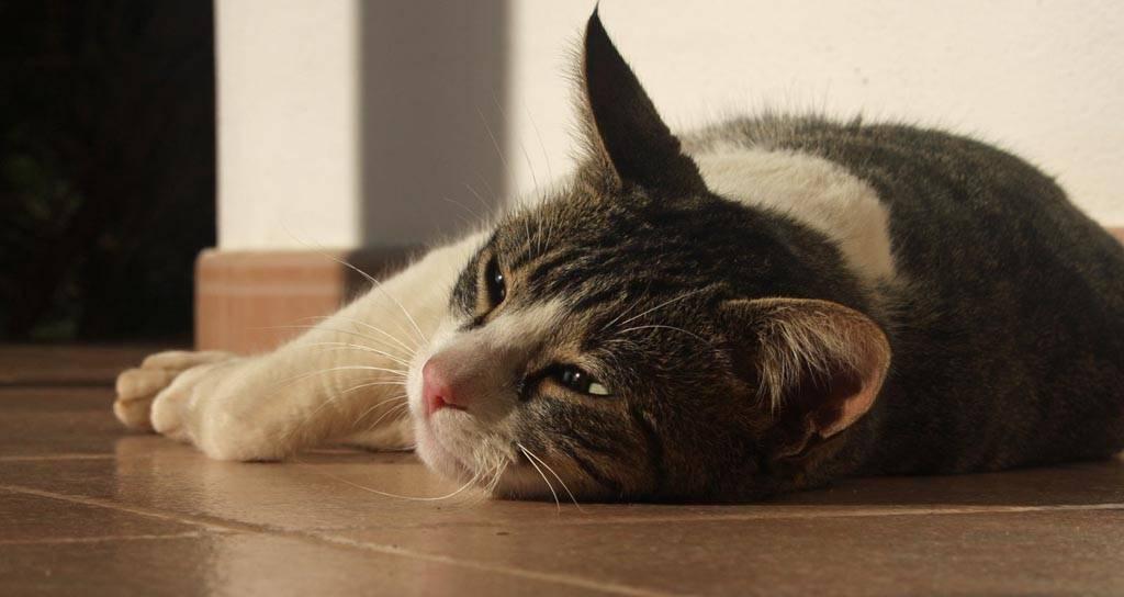 Кошка не может отрыгнуть шерсть: что делать?
