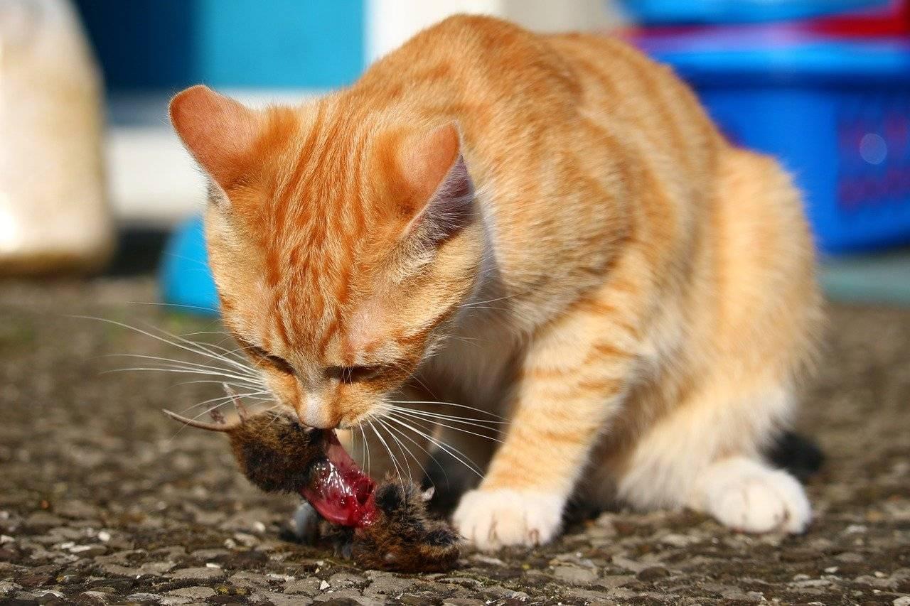 Едят ли мышей кошки и коты. почему кошки едят мышей?