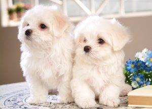 Собака Болоньез (45 фото): характеристика породы, цена, уход, описание здоровья, выбор и цена щенка, интересные факты и особенности породы