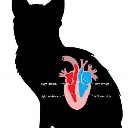Болезни сердца у кошек: виды, причины, симптомы, лечение