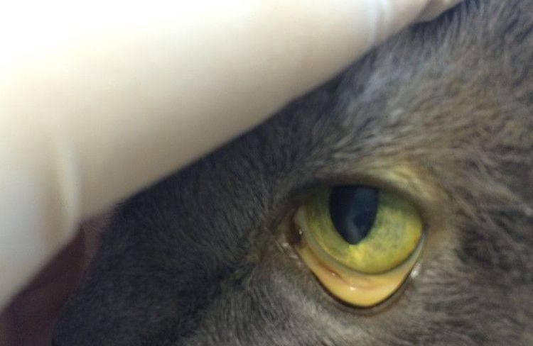 Инфекционная анемия кошек (гемобартонеллез): симптомы и лечение