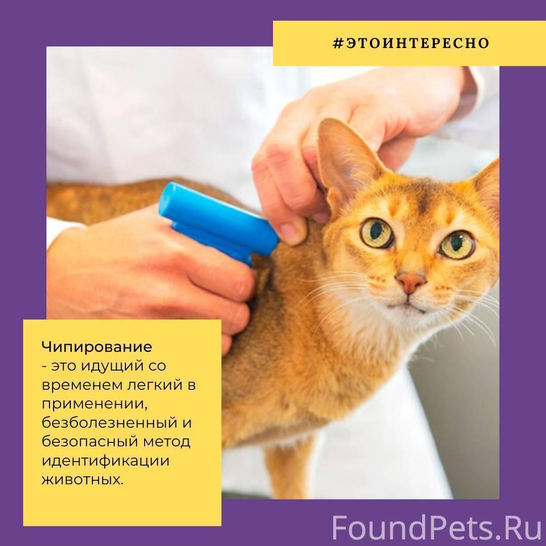 Чипирование кошек: что это такое, сколько стоит чипировать кота, как поставить чип?