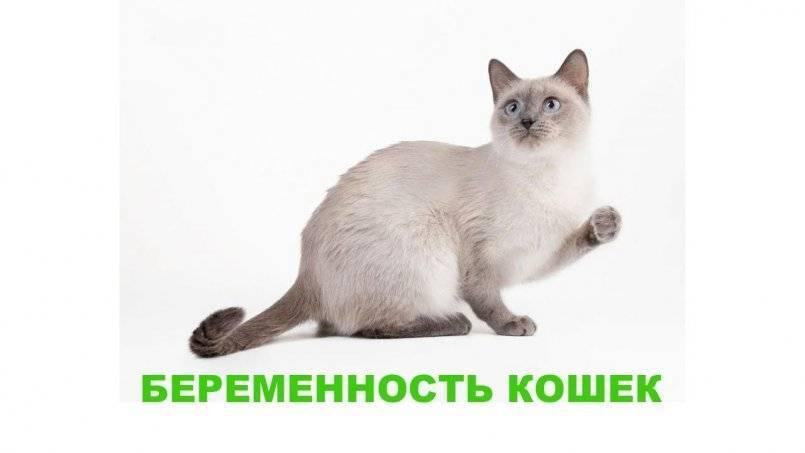 Беременная британская кошка