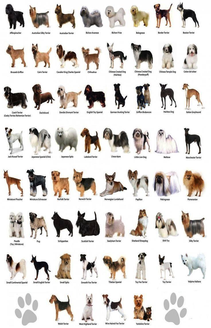 Породы собак среднего размера для квартиры. 10 самых популярных средних пород с фото и названиями. - petstime.ru