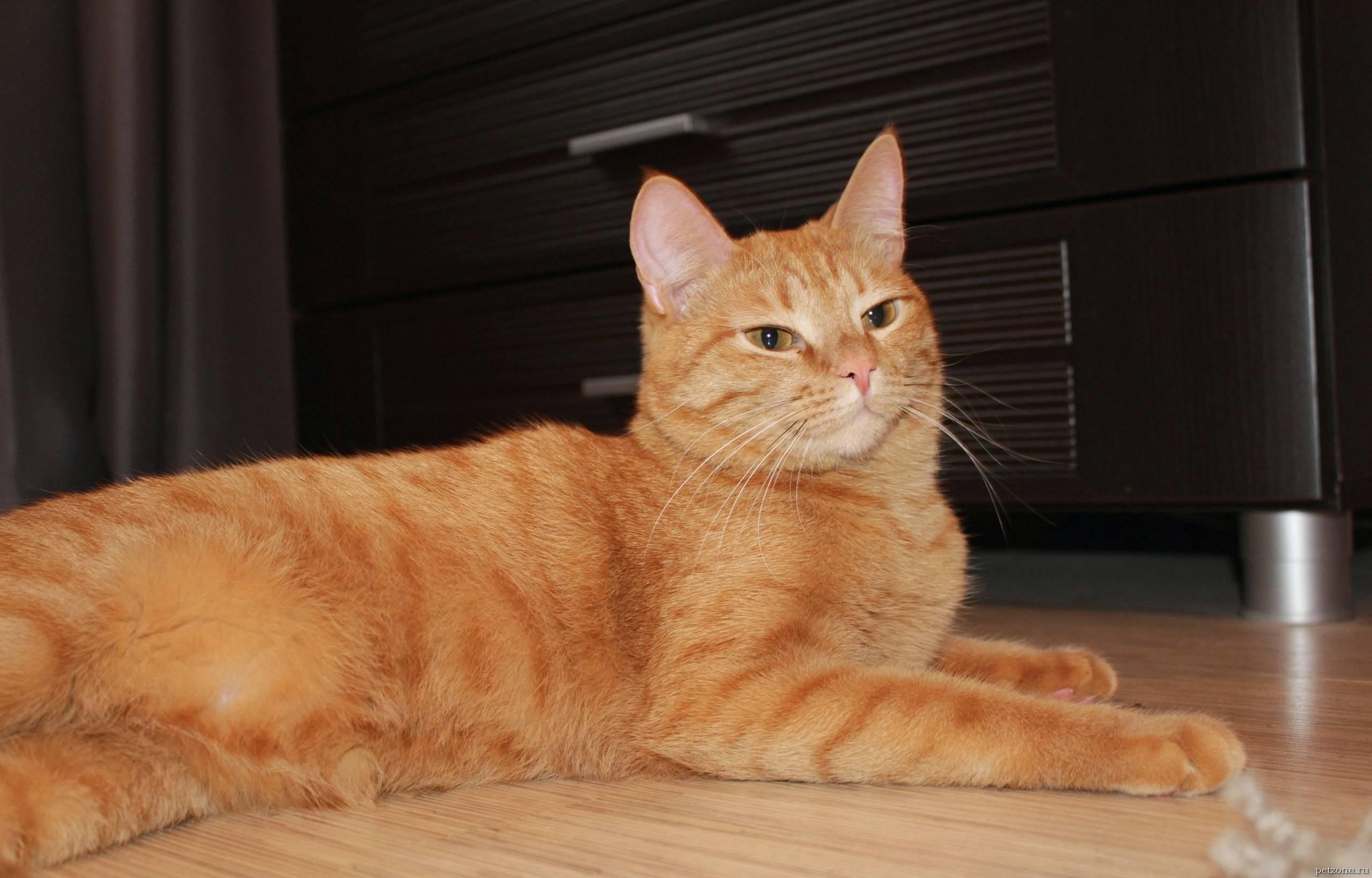 Породы рыжих кошек с фотографиями и названиями — раскрываем все нюансы