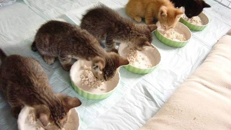 Гречка котам — можно ли давать? | кот и кошка